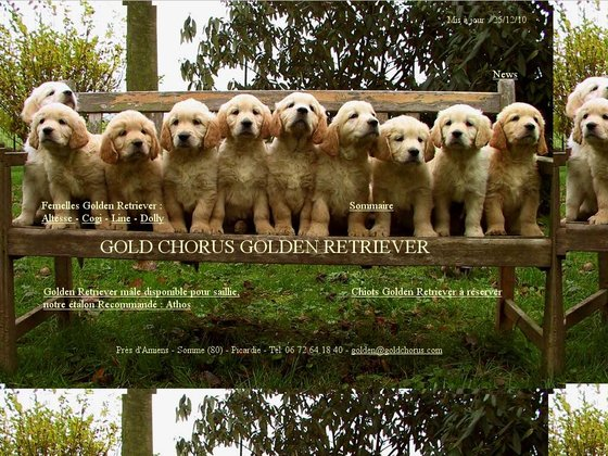 Golden Retriever Gold Chorus